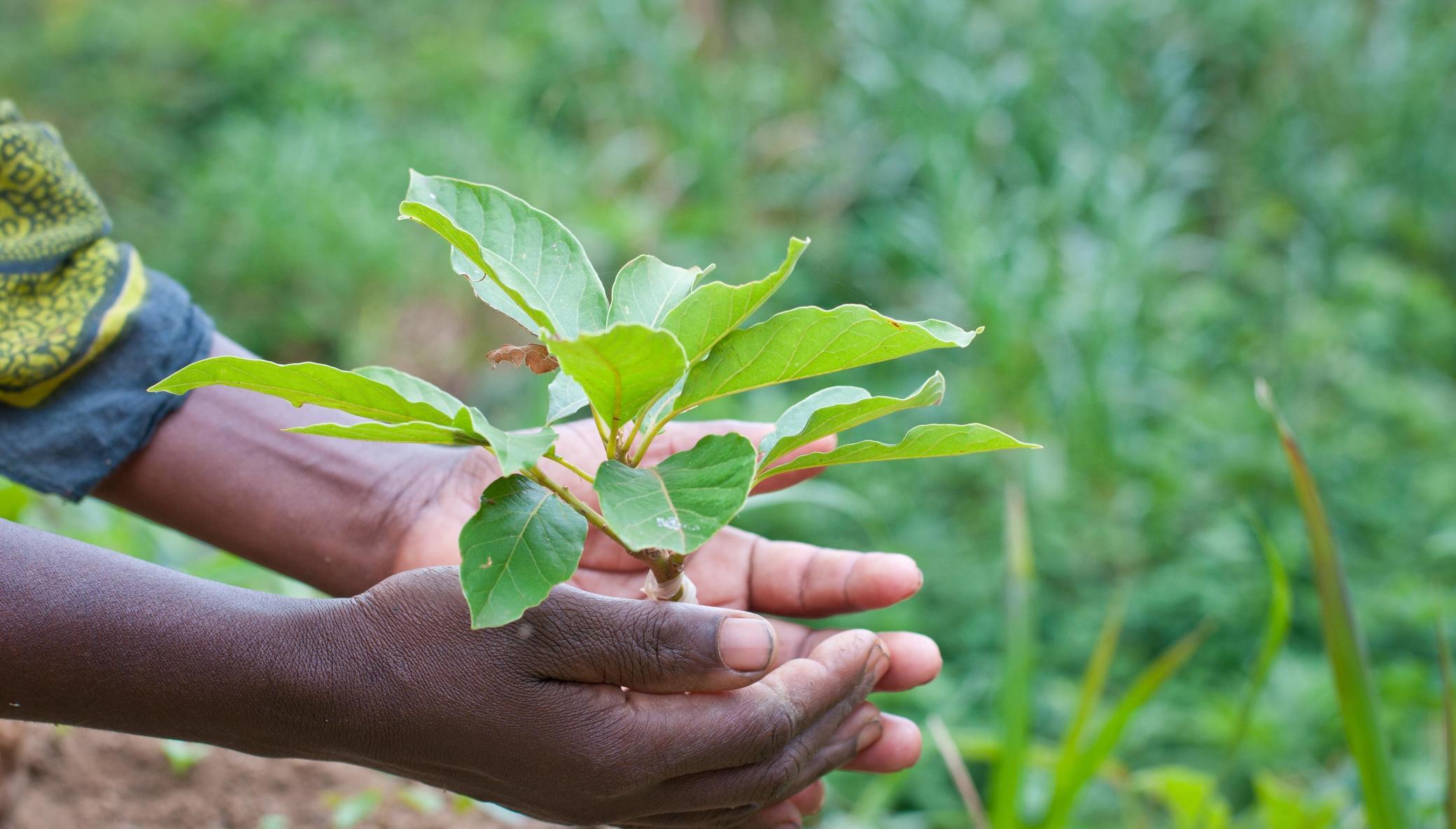 APOPO HeroTREEs - Carbon offsetting in Tanzania
