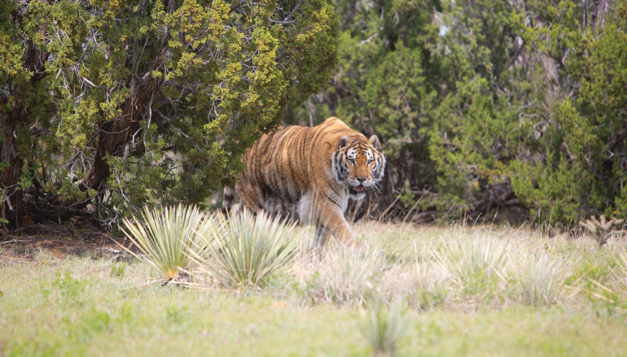 Build Habitats for Rescued Lions, Tigers, & Bears