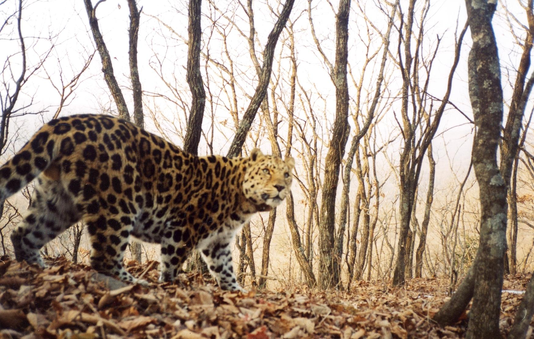 Help Save rarest 100 Amur Leopards from Extinction