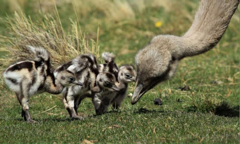 Help recover Rheas population in Chilean Patagonia