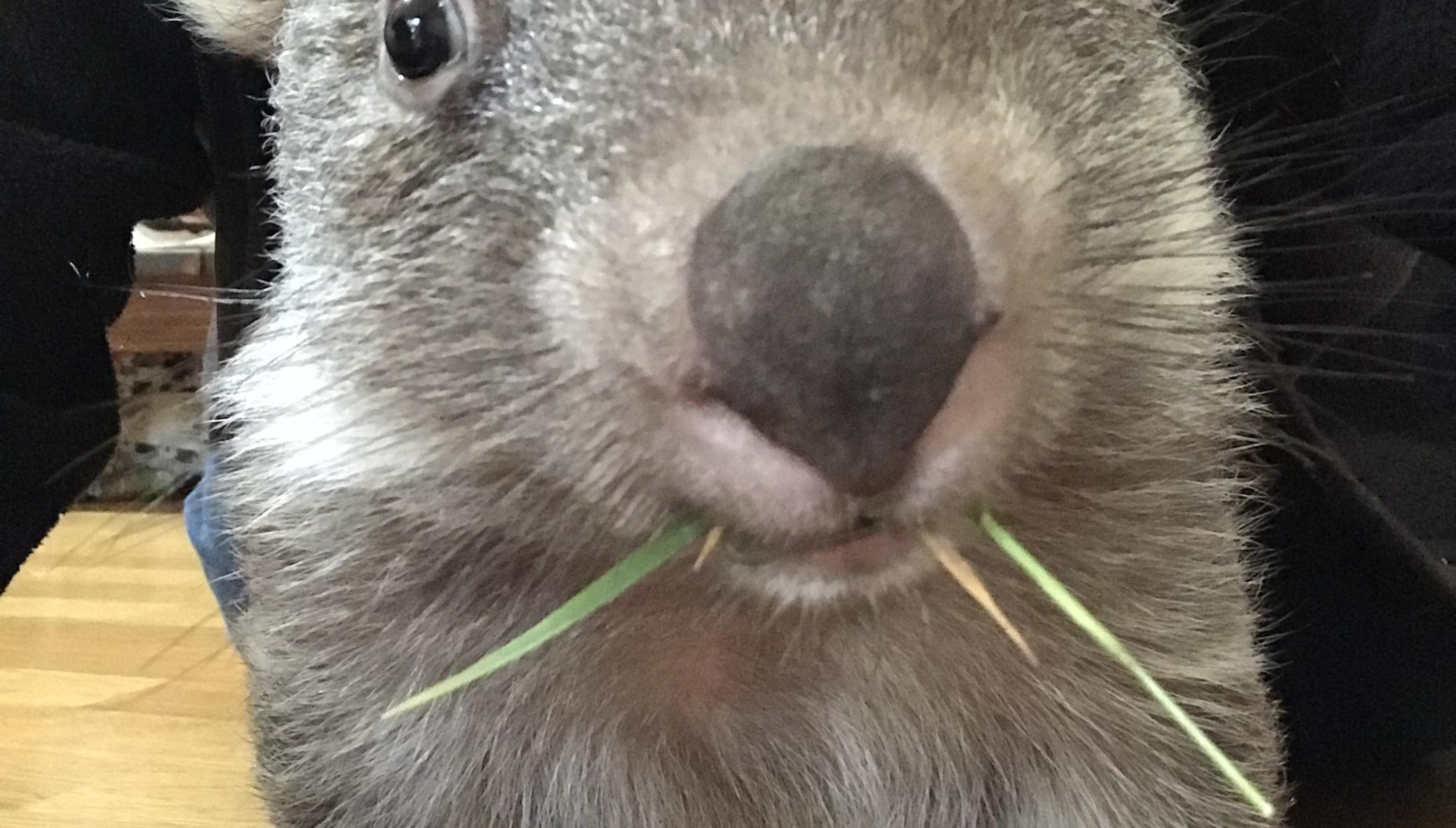 Help save the Bare-Nosed Wombat
