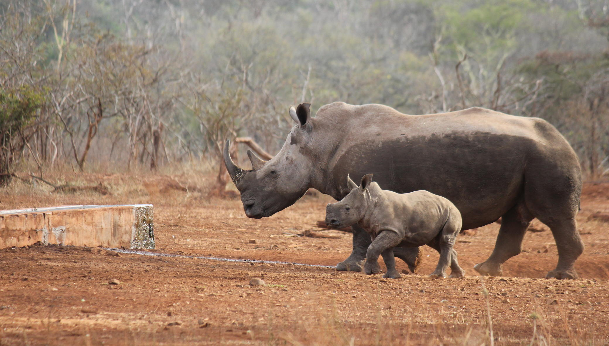 Protect and Save the life of White Rhinos
