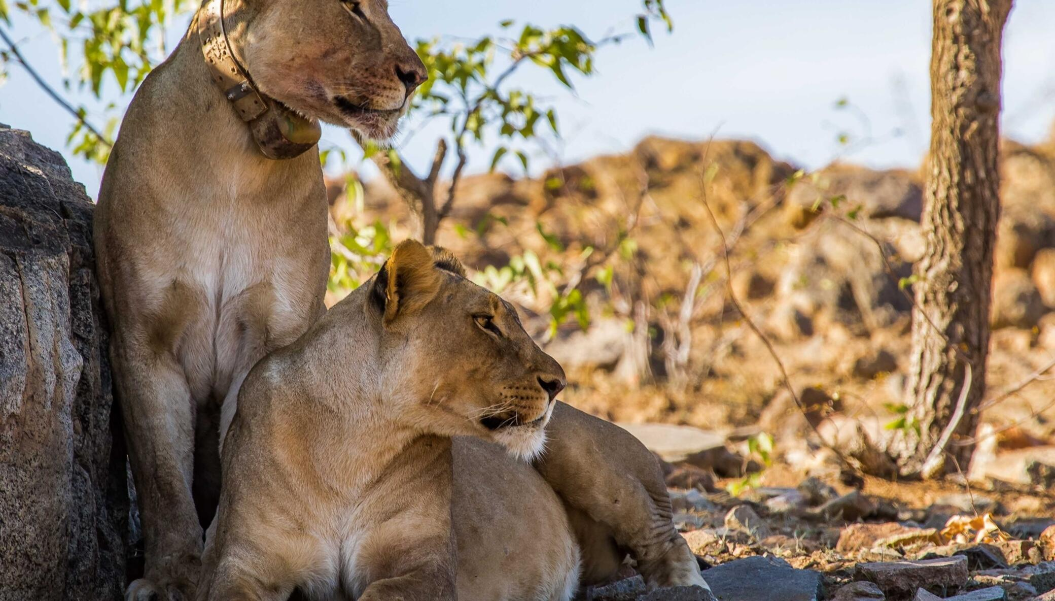 Protect lions in Namibia from retaliatory killings