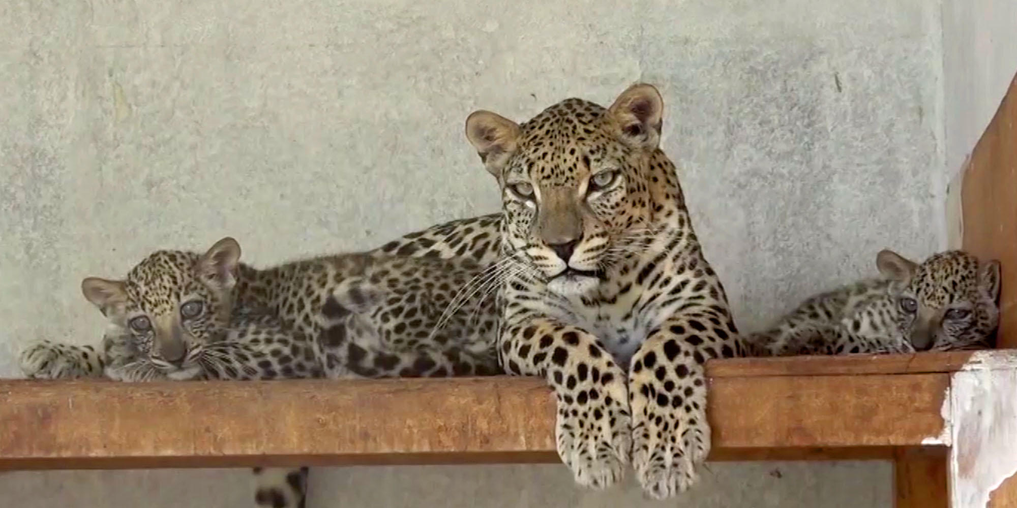 Protecting Arab Leopard in Endangered Yemen