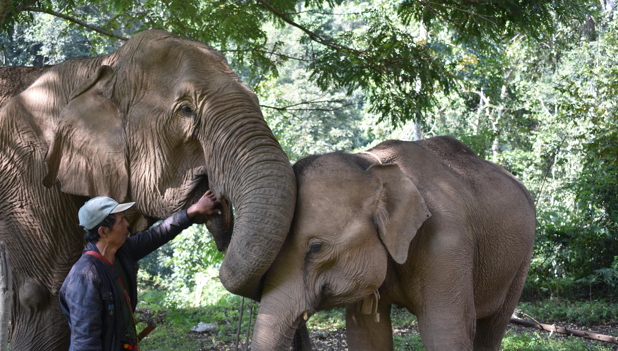 Save and Rescue an Asian Elephant Today