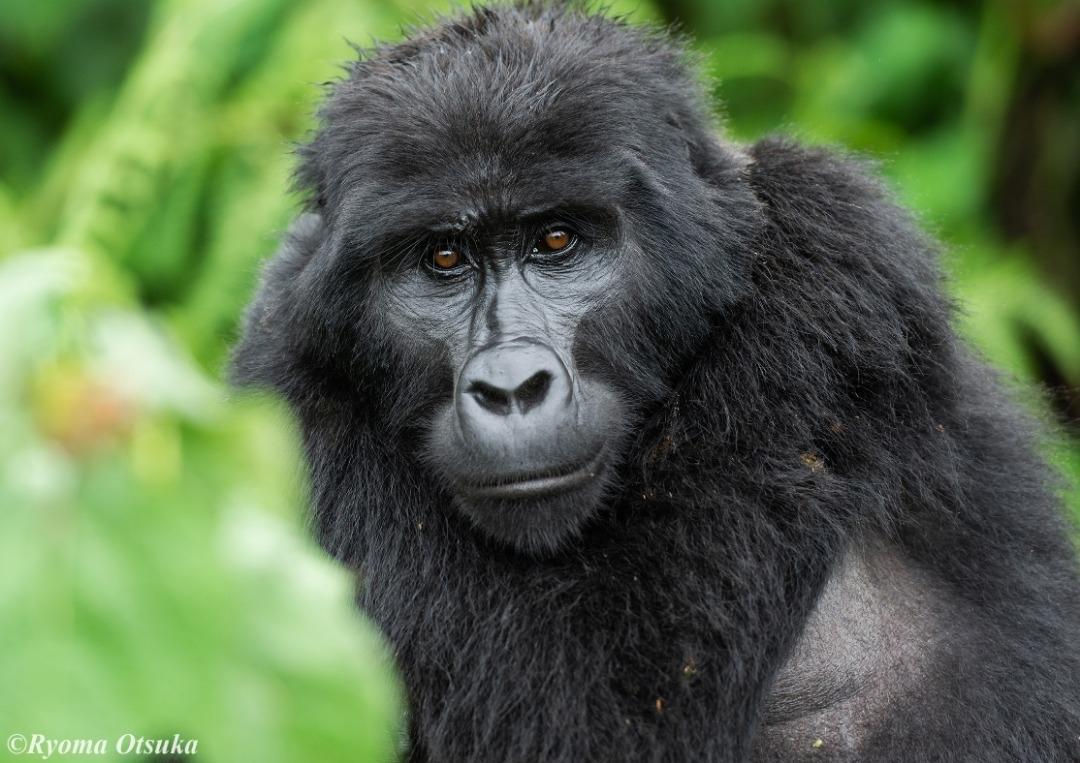 The Gorilla Guardians of Bwindi, Uganda