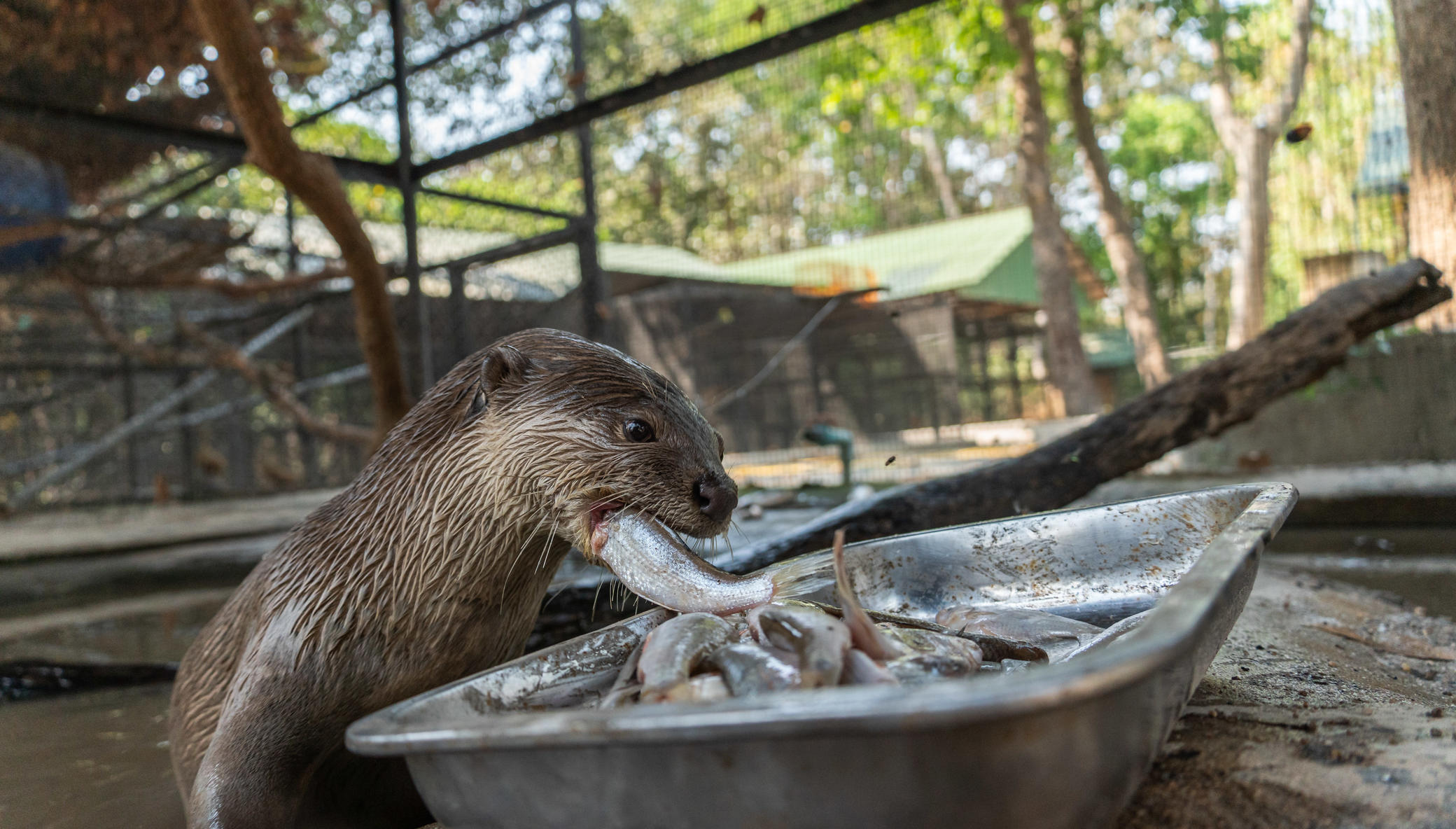 Urgent care costs for a rescued otter in Cambodia